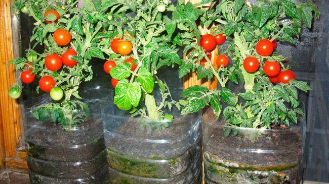 Помідори на балконі: вирощування покроково вертикальним способом